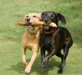 dogs-playing-with-stick