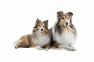 two schotisch collie dogs